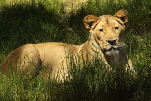 African Lion 2 by FrancesColt