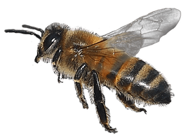IMG 6931 honey bee3 by GoatDriver