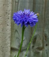 Cornflower Stock by DemoncherryStock