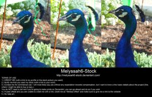 Peacock Head Stock by Melyssah6-Stock
