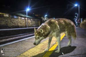 Husky Westgate On Sea 2013.09.07 by TomasMascinskas