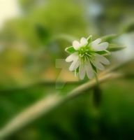 chickweed by lostknightkg