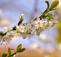Blossoming plums by Pamba