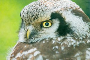 Northern Hawk Owl by DominikaAniola