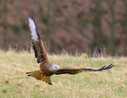 Red Kite by Somnp