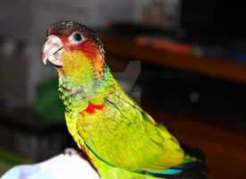 Jester the Blue Throated Conure by Seralunai