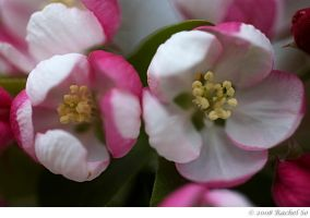 Peppermint Crabapple II by butterfly36rs