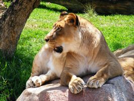 Lion stock 4 by Arghel