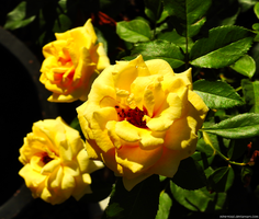 Home garden - Yellow Roses by Mike-Kossi