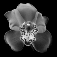 Orchid by coopr