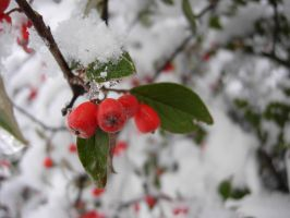Snowberries by PoultryChamp