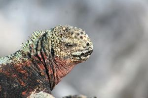 Marine Iguana by Serendith