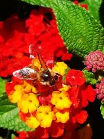 Bee on Lantana I by Oseltamivir