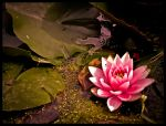 Pink Waterlily edited by natsyk by snoogaloo