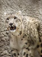 Mimicry of snow leopard by selfOblivion