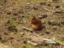 The red squirrel 3 by mearkatman