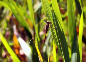 DragonFly by anabell18