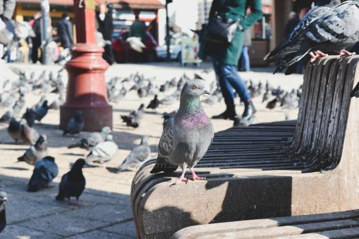 The Majesty of Pigeons by Gaga777