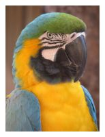 Blue and Gold Macaw by ladyhawk21