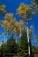 Poplar Trees in Fall by Wolf-Daughter