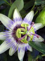 passion flower 2 by stockofshutterbugmom