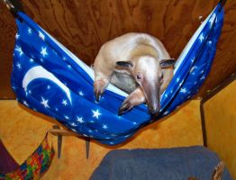 Pua was first to try the new hammock. by TamanduaGirl