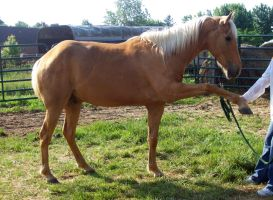 removed tack rocky mountain pony by suuslovertje