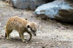 Suricate 04 by godefroy1096