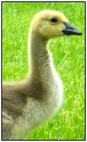 Baby Goose Profile by DimmedFaith
