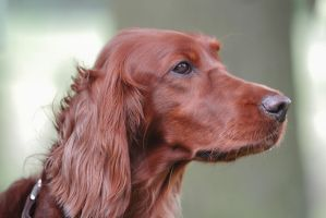 Irish Setter by LuDa-Stock