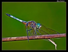 Blue Dasher Dragonfly 07-3 by boron