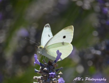 White Butterfly by prancingdeer722