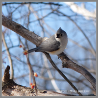 Tufted Titmouse by Mogrianne