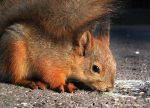 Squirrel and the Leftovers by NatureRai
