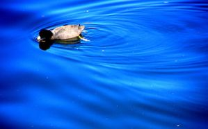 Duck in the Water by CaydenJean