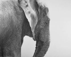 African elephant by graphitemyers