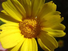 Yellow Flower by InkIsMyPassion
