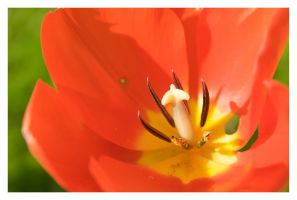 Sunkissed Tulip by Art-ography