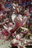 Magnolia blossoms by EruwaedhielElleth