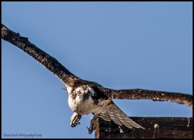Attack of the Osprey by AirshowDave