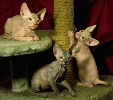 Don sphynx kittens by Yerahatte