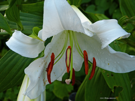 White lily by Mogrianne