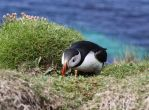 Puffin 3 by bengtsgard
