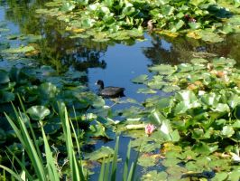 Lily Pond by Ommadawn