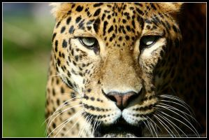 Leopard Portrait II by AF--Photography