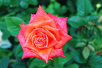 Flowers: Rose 4 [STOCK] by Abletodoall
