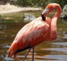 Flamingo 3 by misty-mountain-photo