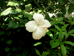 Flower Hibiscus by Shuberth