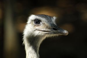 Ostrich by WeezyBlue
