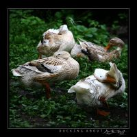 Ducking About by avotius